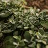 Schönfeld Tee Berggarten - Salbei Pflanze