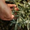 Schönfeld Tee Salbei Marzipan Pflanze