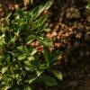 Schönfeld Tee Mentha Basil Smash Pflanze